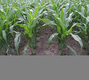 科普视频:抗虫耐除草剂玉米因何而生(转基因科普)
