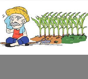 带您了解双抗玉米
